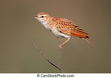 Fawn colored lark - A fawn colored lark (Mirafra...