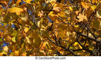 Yellow birch leaves against the blue sky.