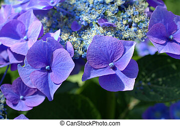 Blue hydrangea close up in the garden