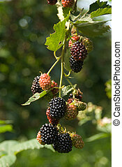 Blackberry - Blackberries. Most of them are ripe, some are...