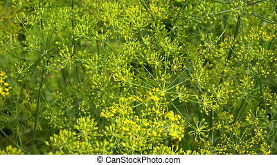 Dill on a bedShot in 4K ultra-high definition UHD, so you...