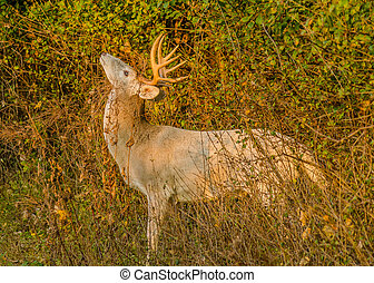 Piebald Whitetail Deer Buck standing in a thicket
