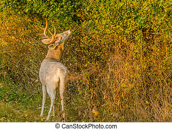 Piebald Whitetail Deer Buck standing in a thicket.