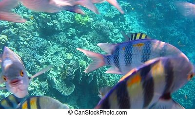 Sergeant major fish in the Red sea