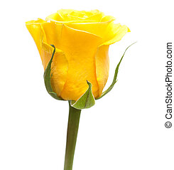 yellow rose - single yellow rose flower isolated on white