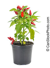 capsicum annuum plant with small red peppers - a plant of...