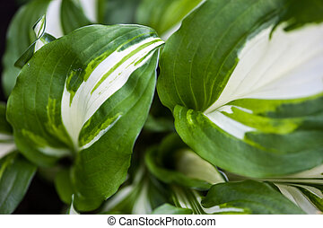 Green-white leaves of hosta - Close up of the hosta...