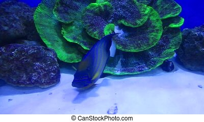 Bluering angelfish in the aquarium