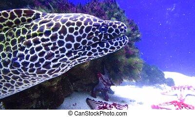Laced moray (Gymnothorax favagineus - Laced moray, leopard...
