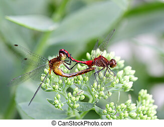 Dragonfly Mating - Two red and orange darter dragonfly...
