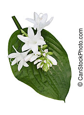Hosta Flower - Fragrant hosta flower and leaf isolated on...