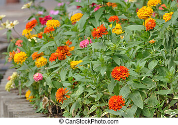 Group of flower zinnia of lilac color in garden