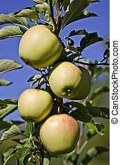 Apples - Nearly ripe Gala apples waiting to be picked