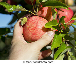 Apple Picking - Picking a tasty looking Gala Apple