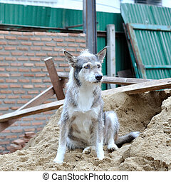 Single gray stray dog crouching on sand dune in construction...