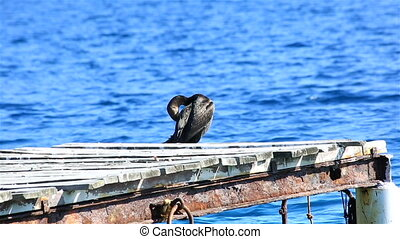 Great cormorant (Phalacrocorax carbo). Sithonia peninsula in...
