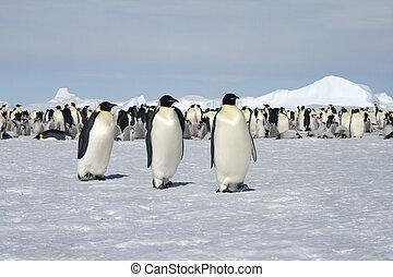 emperador, Pingüinos, (Aptenodytes, forsteri)