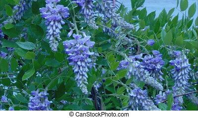Wisteria CU - CU of a wisteria vine