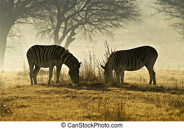Grazing Zebras - Stallion and Mare Zebras grazing agains the...