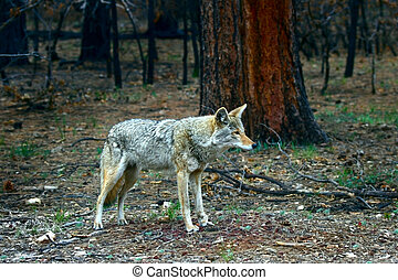 Injured Coyote Bitch - Coyote bitch canis latrans with...