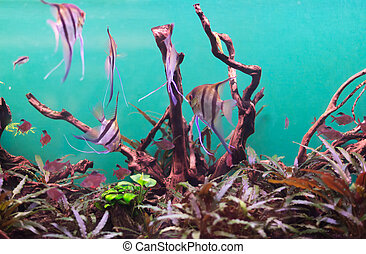 Freshwater aquarium with plants and fishes.
