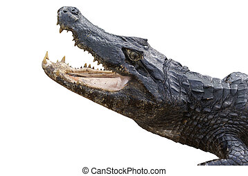 Alligator Isolated on White - Snapping Alligator Isolated on...