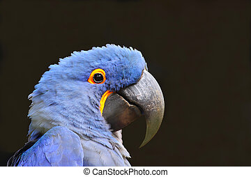 azul, papagallo, (Parrot)