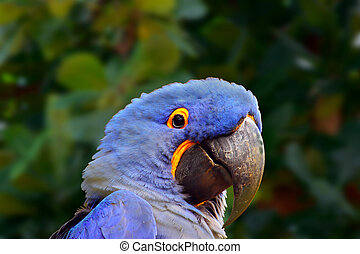 Blue Macaw (Parrot) - Close-up of a Blue Macaw (Parrot) with...