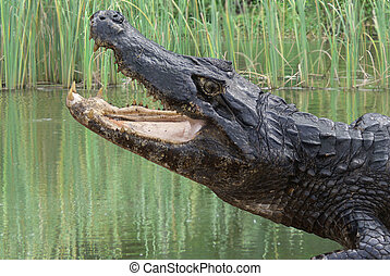 Snapping Alligator next to the water in the Brazilian...