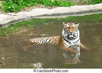 Siberian Tiger in water, tiger in zoo