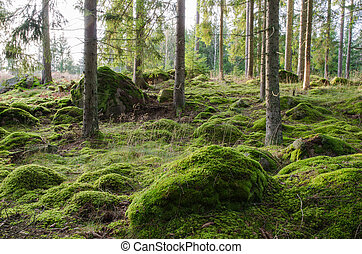 Bright and mossy coniferous forest - A bright and rocky...