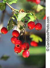 Ripe hawthorn in autumn - Ripe hawthorn branch at sunny...