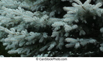 Blue spruce. - Branches of a blue spruce tree. Slight...