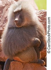 Hamadryas Baboon - Close up of a Hamadryas Baboon Papio...