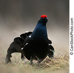 The Black Grouse or Blackgame Tetrao tetrix - The Black...