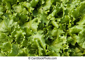 Lettuce Lactuca sativa - Young seedlings of lettuce in the...