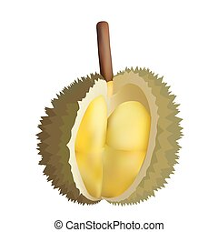 Peeled durian - Vector illustration of peeled durian King of...