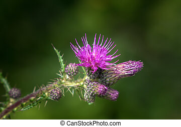 Marsh Thistle - Detail of flower of the marsh thistle...