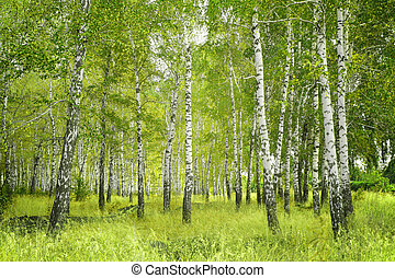 Birchs - Beautiful landscape - summer birchwood