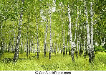 Birchs - Beautiful landscape - summer birchwood