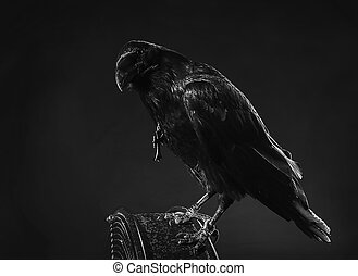 noir, raven, ,