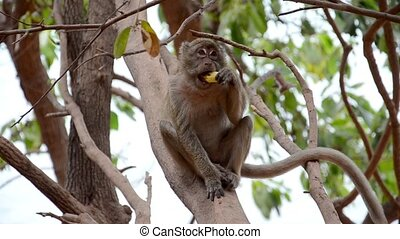 thai monkey - monkey eating fruit on a tree branch
