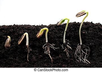 序列, ......的, 向日葵, 新芽, 萌芽,