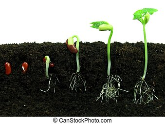 Sequance of bean seeds germination in soil