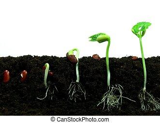 Germinación, de, frijol, semillas, en, secuencia,