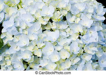 colorful fresh flower background, hydrangea flower.