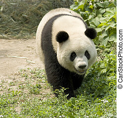 Giant Panda - close-up Giant panda in national park photo