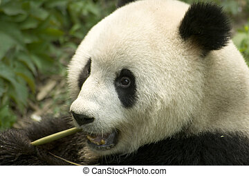 eating  panda - close-up eating big panda photo