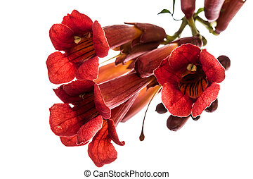Trumpet flowers, lat. Campsis, isolated on white background