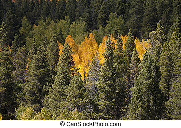 Aspen Stand in Pines